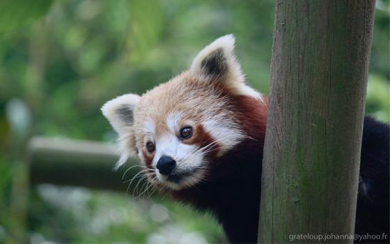 pandaroux-zoodasson